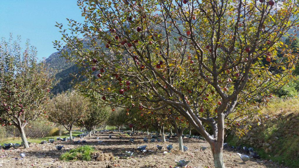 Sady jabłkowe wMarpha