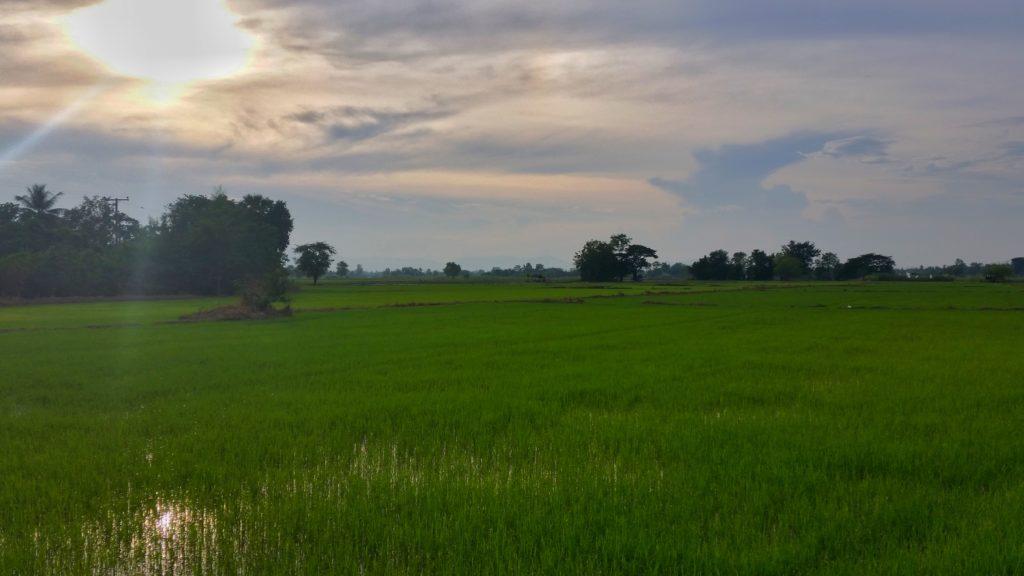 Pola ryżowe